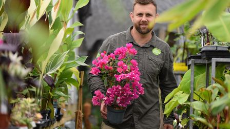 Carl Cooper with bougainvillea as he works among his tropical plants in the polytunnel at his home i