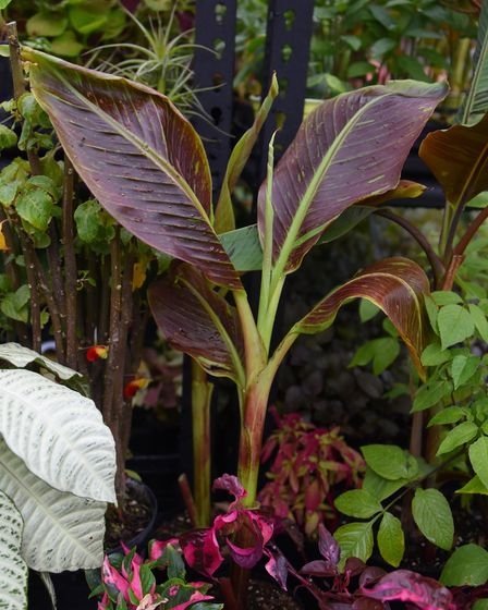 The Musa 'Siam Ruby', a rare tropical banana plant in Carl Cooper's polytunnel at Rackheath. Picture
