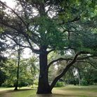 A large tree: The Cedar of Lebanon at the Gardens of Easton Lodge,Little Easton near Great Dunmow, Essex