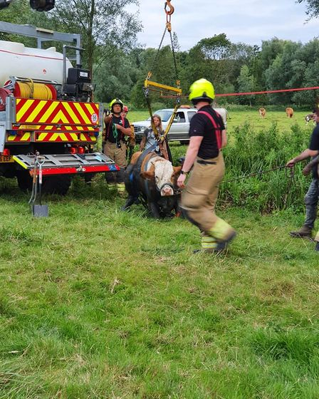 Firefighters getting the cow onto its feet in Stoke by Clare