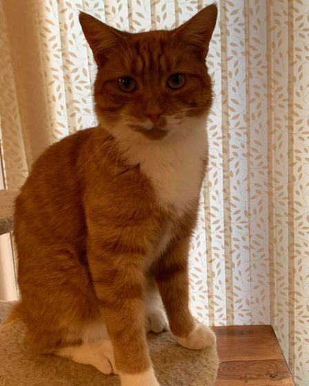 Tom the cat who was handed to a Fakenham vet after he went missing for 15-months.