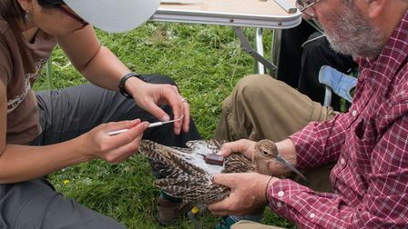 A curlew being tagged with a GPS tracker by the British Trust for Ornithology.