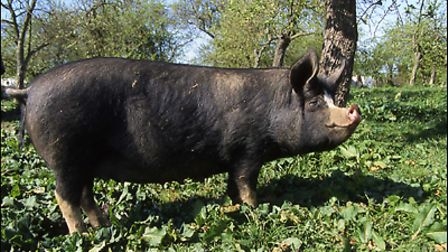 Keeping-your-pigs-healthy-is-a-920989df