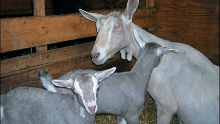 Goat-and-kids-6ce472f5