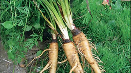 Salsify--introduced-in-1899--i-cde0f9e5