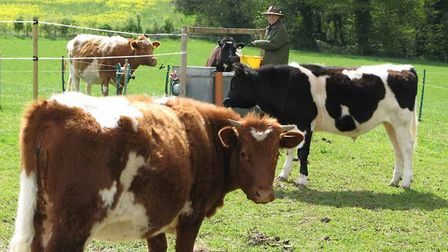 Cattle-contained-by-electric-f-43911c84