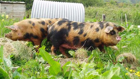 Oxford-Sandy-and-Black-pigs-5f653ea