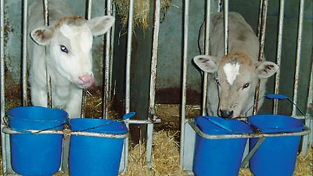 Calves-in-the-cow-shed-19aa13a3