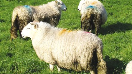 It's a fact of life that sheep get mucky backsides!