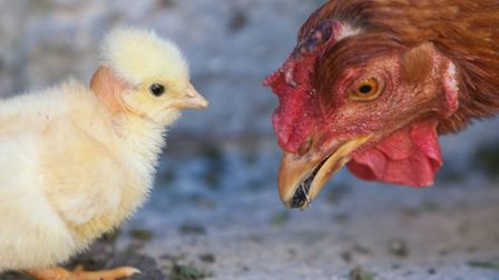 A broody will devote her time and energy foraging for natural foods such as grubs for her chicks.