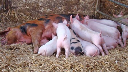 A healthy litter of piglets, ready to be weaned and sold for fattening