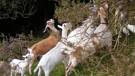 Goats are browsers rather than grazers