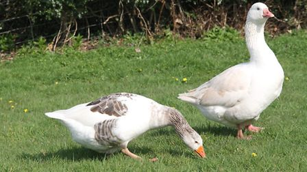Shetland geese with sex-linked plumage colour