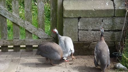 The three guinea fowl breeding stock - clearing up under the wild bird feeder