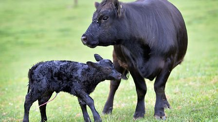 AUSTRALIAN LOWLINE WESSEX CATTLE Picture by Adam Fradgley Pictured: A cow and new born calf amongst