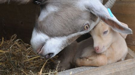 A dairy goat and kid