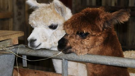 Alpacas are also given shelter on Jack's smallholding in Cornwall