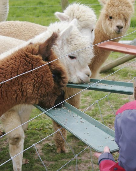 The alpacas are a hit with visitors