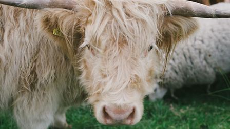 Highland cattle are recent additions to the Pilka's smallholding
