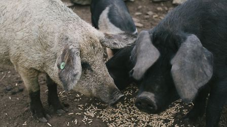 The family has kept a variety of pig breeds