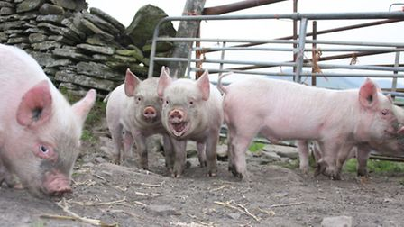 Michaela and Neil Giles keep Middlewhite pigs