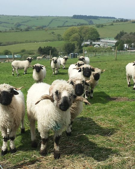 A Valais Blacknose flock in Cornwall