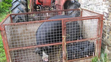 Pigs in a stock box