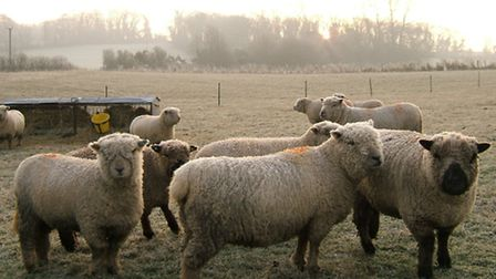 Keeping sheep is not as straightforward as some might think