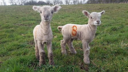 Even the smallest of lambs are quite hardy