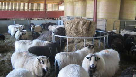 Badgerface sheep in the lambing shed