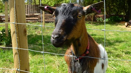 The pygmy goat are popular attraction