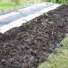 After planting asparagus crowns into compost on top of weedy pasture