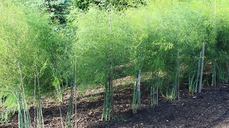 The same asparagus 30 months later