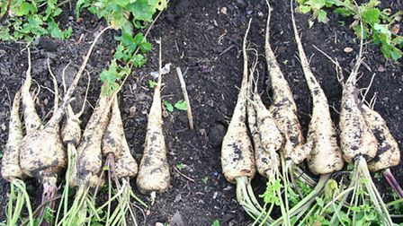 Parsnips send roots deep into the undug soil. They are easy to grow this way