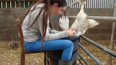 Plucking poultry- another job for youngsters!