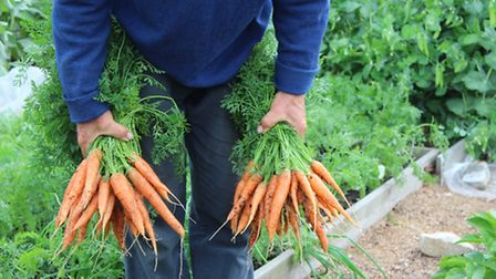 June carrots were sown March 19, on the left, and March 17, on the right