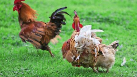Alpha rooster responds to a subordinate's tidbitting display with overt aggression, chasing the subo