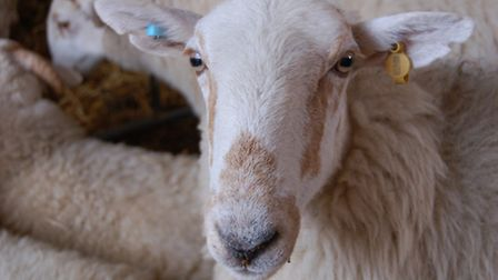 Sheep are a popular target for thieves