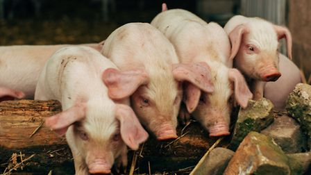 Pigs play a big role at Middle Farm
