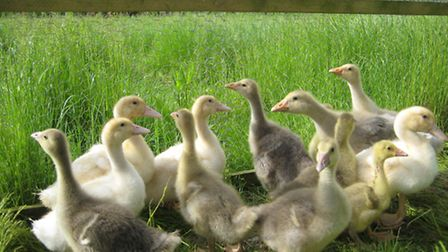 Gosling and ducklings
