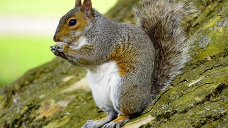 Grey squirrels are a sustainable and tasty source of food