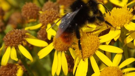 Ragwort nectar: the plant is an important food source