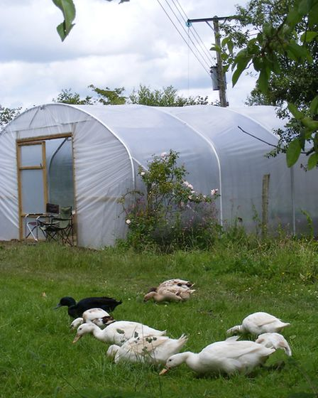 A polytunnel could make a temporary refuge for the domestic birds