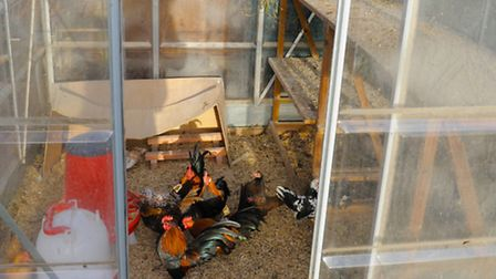 Bantams being kept in a greenhouse. Photo: Terry Beebe