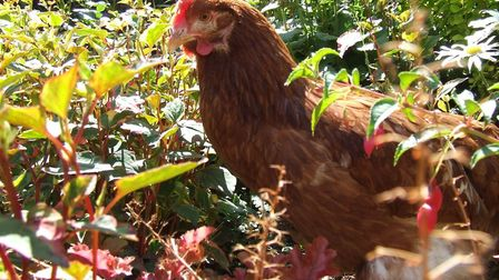 Herbs are great for hens!