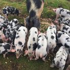 Piglets have been thriving during the summer months