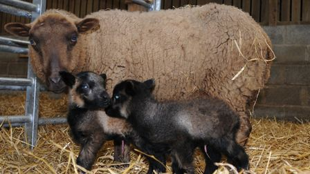 Breeding pure breeds: these Shetlands have their dad's markings and none of their mums