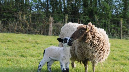 From a stillborn tragedy to a successful fostering - a Shetland ewe and her Suffolk/mule lamb