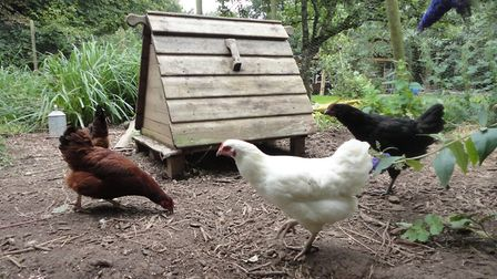 All poultry keepers, even people keeping a few chickens in the back garden, must observe increased b