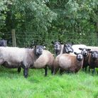 Blue Texel ewes and lambs